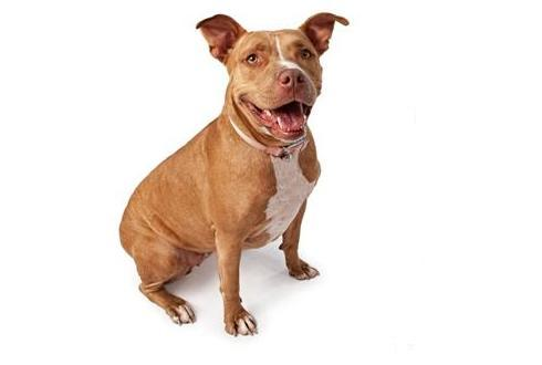 """Fact and Fiction: """"Pit Bulls"""""""
