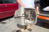 One of the cats gets loaded into a transport vehicle. Photo Credit: Matt Liptak
