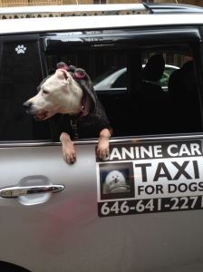 Violet in the pet taxi